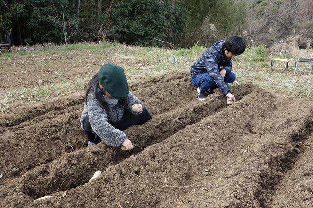方 じゃがいも の 植え ジャガイモ マルチの敷き方